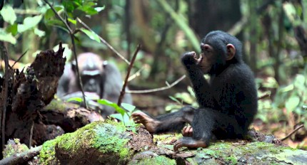 Chimpanzés: Disneynature - Trailer #1